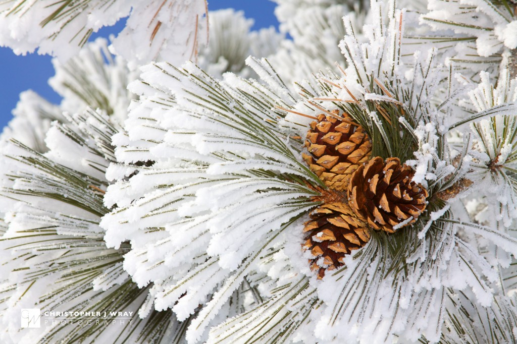 Ponderosa pine needles with hard rime