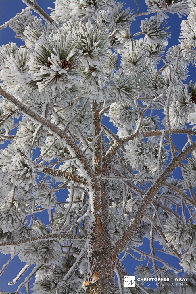Hard rime on ponderosa pine