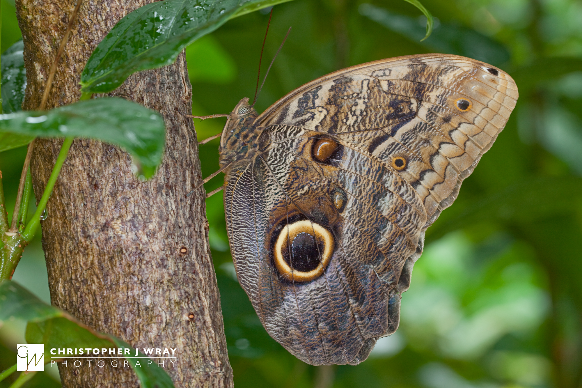 Owl butterfly - photo#9